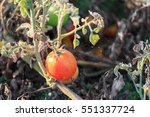 Ripe Tomato On Bush With...