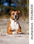 Small photo of American staffordshire terrier, amstaff, ast, stafford