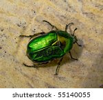 The Flower Chafer Is A...