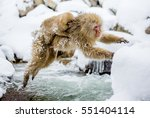 Japanese Macaques Jumping...