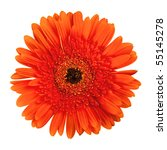 Orange gerbera flower. Closeup, isolated on white - stock photo