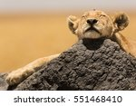 Lion Cub Resting In The...
