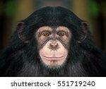Portrait Of Chimpanzees.