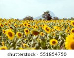 summer sunflower field. field... | Shutterstock . vector #551854750