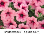 Beautiful Red Petunias  Petuni...