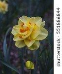 Yellow  Orange Filled Daffodil...