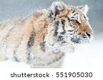portrait of young siberian... | Shutterstock . vector #551905030