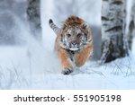 siberian tiger  panthera tigris ... | Shutterstock . vector #551905198