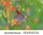 crimson sunbird at krating... | Shutterstock . vector #551953723