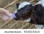 Little Baby Cow Feeding From...