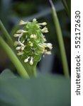 prayer plant  calathea... | Shutterstock . vector #552172630
