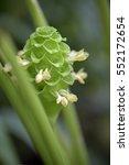 prayer plant  calathea... | Shutterstock . vector #552172654