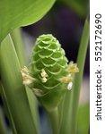 prayer plant  calathea... | Shutterstock . vector #552172690