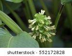 prayer plant  calathea... | Shutterstock . vector #552172828