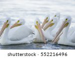 A Small Flock Of American Whit...