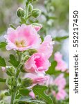 Small photo of Pink flower, hollyhock (Alcea rosea) blooming in a garden, on other blossom blurred background, macro. Vertical image.