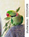 Small photo of Green parrot sitting on shoulder. Home pet Alexandrine parakeet indoor