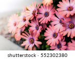 beautiful chamomiles field at... | Shutterstock . vector #552302380