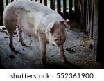 Portrait Of A Pig In A Pigsty...