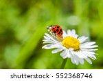 Ladybug On A Daisy Flower...