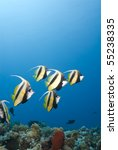 Small school of Red Sea Bannerfish (Heniochus intermedius) against a blue background. Ras Katy, Sharm el Sheikh, Red Sea, Egypt. - stock photo