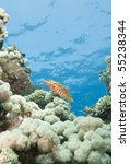 sixspot grouper  cephalopholis... | Shutterstock . vector #55238344