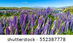 these lupines can be found all... | Shutterstock . vector #552387778