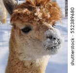 Small photo of Brown Alpaca With a Snow Covered Nose - Minnesota