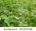 Small photo of Ageratum conyzoides