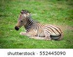 Stock photo baby zebra 552445090