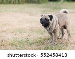 funny pug dog playing on grass... | Shutterstock . vector #552458413