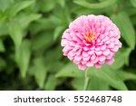 pink flower in the garden | Shutterstock . vector #552468748