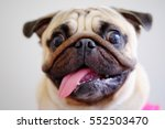 Stock photo pug dog cute naughty 552503470