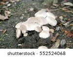 Agaricus Bitorquis Mushroom Ak...