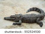 saltwater crocodile in pond | Shutterstock . vector #552524530