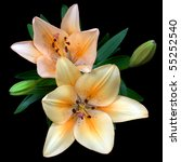 lily on black background | Shutterstock . vector #55252540