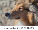 rough collie snout profile soft ... | Shutterstock . vector #552718729