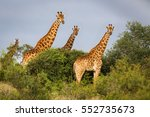 group of giraffes in the bush ... | Shutterstock . vector #552735673