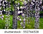 wisteria flowers in a japanese... | Shutterstock . vector #552766528