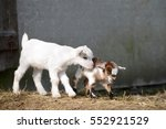 Goat Kids Standing  On Straw I...