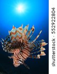 Lionfish Fish In Ocean