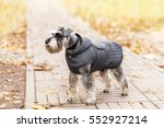 Miniature Schnauzer Dog In The...