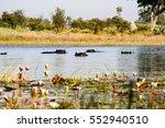 hippos playing in the okavango... | Shutterstock . vector #552940510