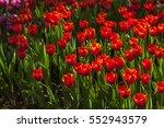 a beautiful tulip flower in... | Shutterstock . vector #552943579