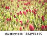 tulips fields  alkmaar ... | Shutterstock . vector #552958690