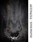 Nostrils Of Friesian Horse In...
