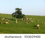 Cows On A Green Field And Clea...