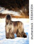 afghan hound | Shutterstock . vector #553045354