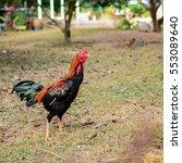 beautiful gamecock walking in... | Shutterstock . vector #553089640