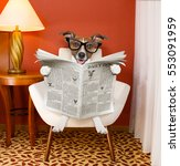 Stock photo jack russell dog reading newspaper on a chair or sofa couch or lounger in living room table 553091959
